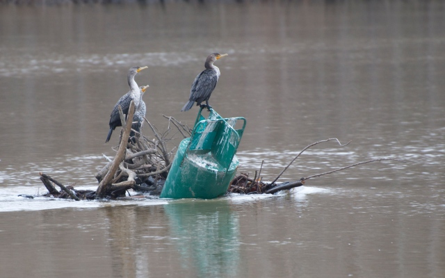 Three double crested cormorants take a break from fishing on a green can.