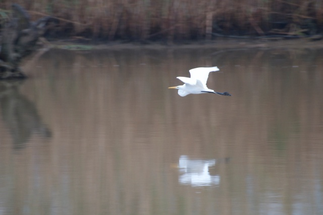 A Great Egret glides over the water.