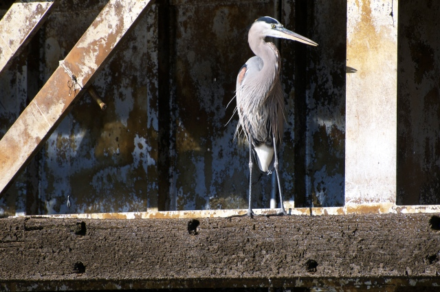 A Great Blue Heron rests on the sill of a lock gate.