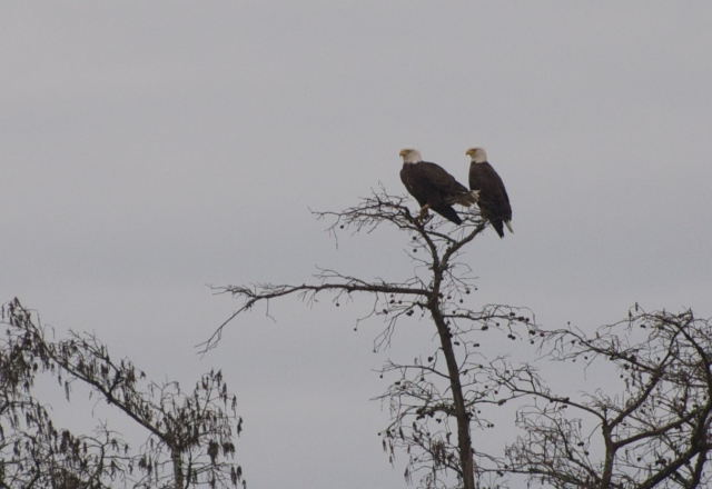 Two Bald Eagles watch the river just north of Mobile.