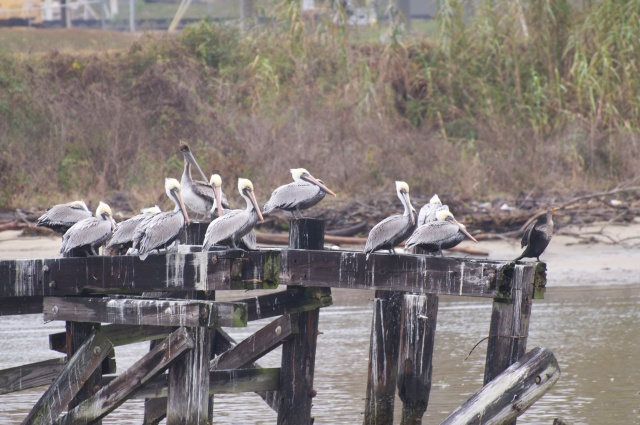 A squadron of Brown Pelicans supervised by a lone Double Crested Cormorant, welcome travelers to  Mobile.