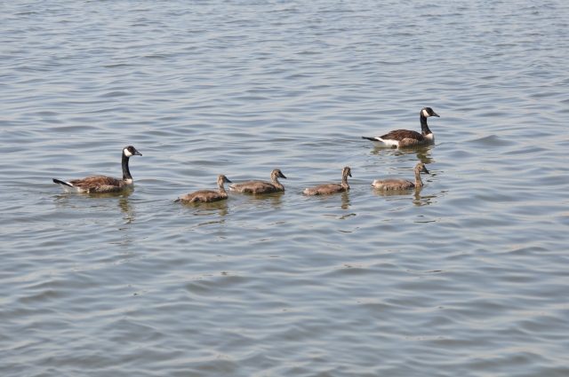 A family of geese,