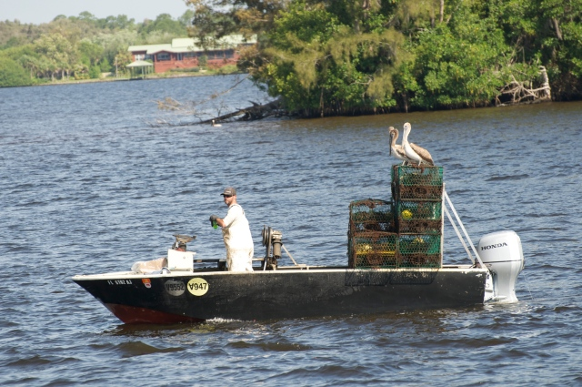 A waterman works the Caloosahatchee River.  Ya gotta love his crew.