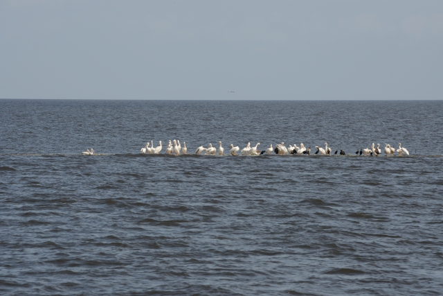 Don't boat where birds walk.  These white pelicans and cormorants enjoy resting on a shallow spot.