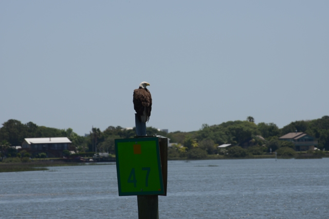 A Bald Eagle assesses our progress.  Yes sir, we are keeping within the channel.