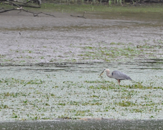 A Great Blue Heron grabbing a wriggling meal at the creek's edge.