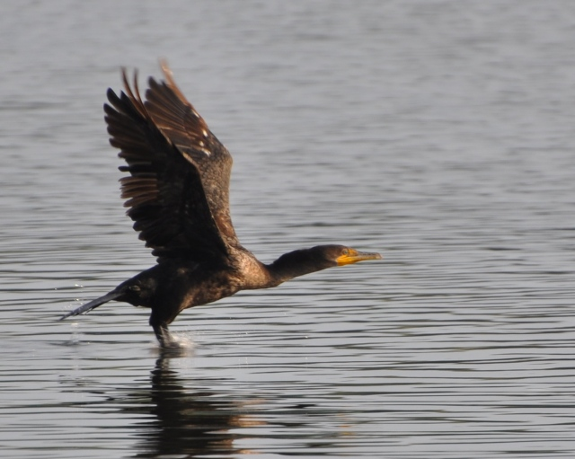 A Double-crested Cormorant lifts off from the surface of the canal