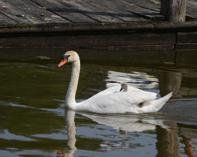 A Mute Swan with its cygnet.
