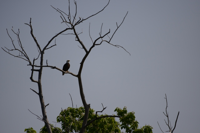 This Bald Eagle held his ground as an Osprey complained about the trespasser in its territory.